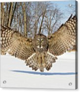 Great Grey Owl Attack Acrylic Print