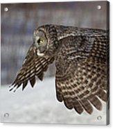 Great Grey Owl In Flight Acrylic Print by Jakub Sisak