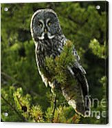 Great Grey Owl On The Hunt Acrylic Print
