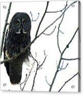 Great Grey Owl On The Lookout Acrylic Print