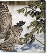 Great Grey Owl Pictures 23 Acrylic Print