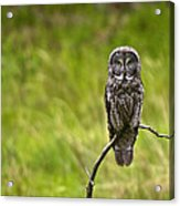 Great Grey Owl Acrylic Print