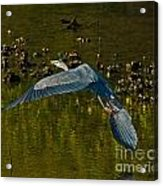 Great Heron Over Oyster Beds Acrylic Print