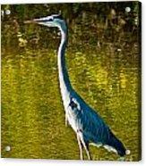 Great Heron Acrylic Print