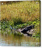 Great Herons Wading Near Alligator Sunning Acrylic Print