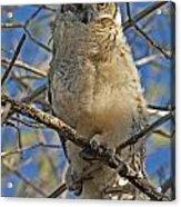 Great Horned Owl 2 Acrylic Print