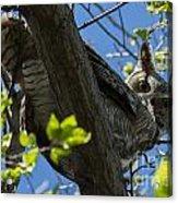 Great Horned Owl 5 Acrylic Print