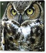 Great Horned Owl At Rest Acrylic Print