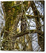 Great Horned Owl Acrylic Print by David Yack