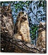 Great Horned Owl Family Acrylic Print