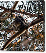 Great Horned Owl Looking Down  Acrylic Print