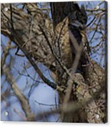 Great Horned Owl On Watch Acrylic Print