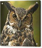 Great Horned Owl Acrylic Print