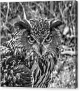 Great Horned Owl V7 Acrylic Print