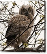 Great Horned Owlet 2 Acrylic Print