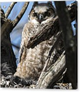Great Horned Owlet Finishes Lunch Acrylic Print