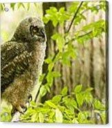 Great Horned Owlet Acrylic Print