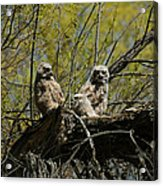 Great Horned Owlets 1 Acrylic Print
