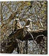 Great Horned Owlets Photo Acrylic Print