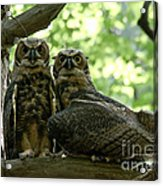 Great Horned Owls Acrylic Print