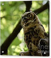 Great Horned Youngster Acrylic Print
