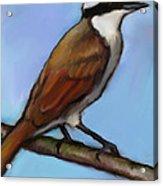 Great Kiskadee Bird Acrylic Print