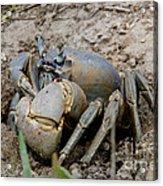 Great Land Crab Acrylic Print