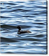 Great Northern Loon Acrylic Print
