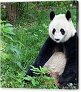Great Panda Showing Its Tongue - Acrylic Print