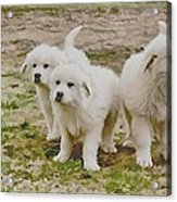 Great Pyranese Puppies Acrylic Print by Bonnie Willis