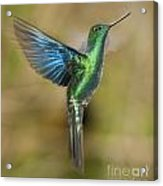 Great Sapphirewing Hummingbird Acrylic Print
