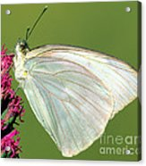Great Southern White Butterfly Acrylic Print