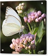 Great Southern White Butterfly On Pink Flowers Acrylic Print