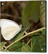 Great Southern White Butterfly Acrylic Print by Rudy Umans