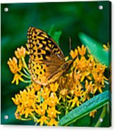 Great Spangled Fritillarie Ins 77 Acrylic Print