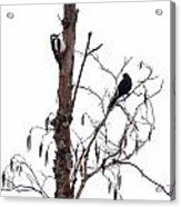 Great Spotted Woodpecker And A Blackbird. Dude What Are You Doing Acrylic Print