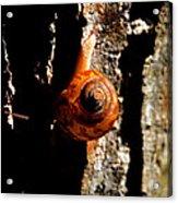 Great Tree Snell Acrylic Print