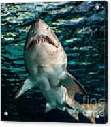 Great White Acrylic Print