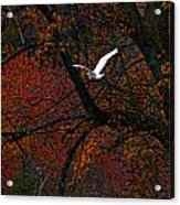 Great White Egret - Autumn Flight Acrylic Print