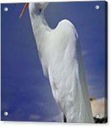 Great White Egret 2 Acrylic Print