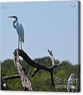 Great White Egret And Friend Acrylic Print