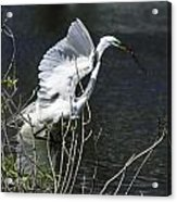 Great White Egret Building A Nest V Acrylic Print