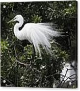 Great White Egret Building A Nest Vii Acrylic Print