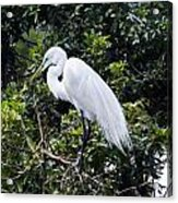 Great White Egret Building A Nest Viii Acrylic Print