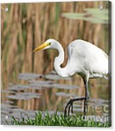Great White Egret By The River Too Acrylic Print