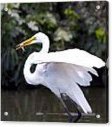 Great White Egret Eating Fish 1 Acrylic Print