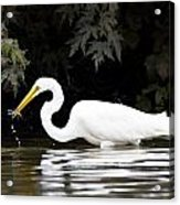Great White Egret Eating Fish 2 Acrylic Print