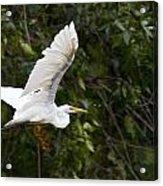 Great White Egret Flying 1 Acrylic Print