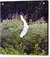 Great White Egret Flying 2 Acrylic Print
