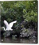 Great White Egret Flying 3 Acrylic Print